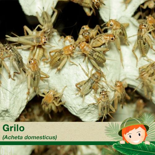 Grilos