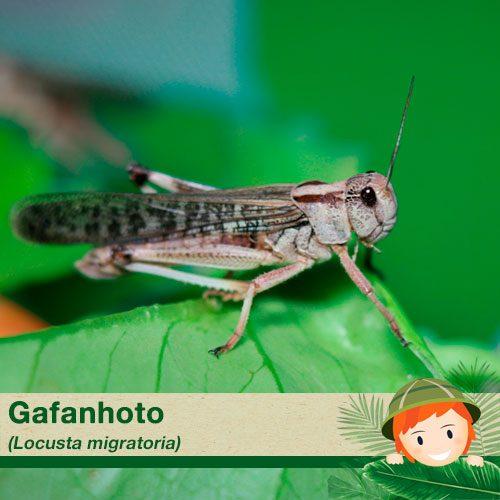 Gafanhoto - Locusta Migratoria