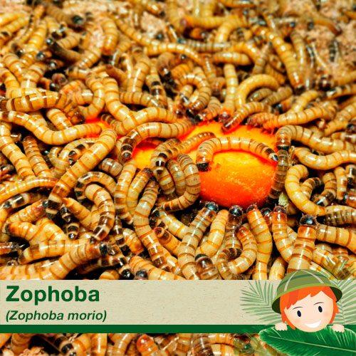 zophoba morio