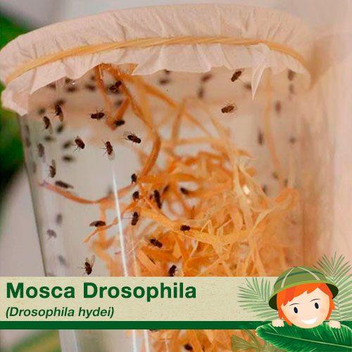 Mosca drosophila